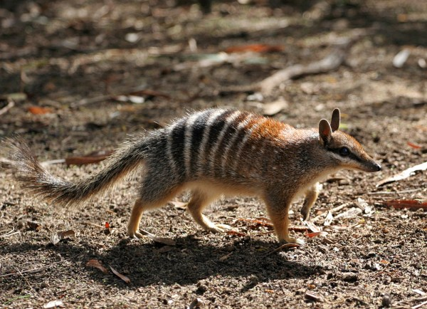 A numbat, one of the many species to benefit from Perth Zoo's involvement.