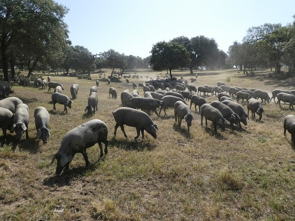 Free-range pigs in the mix of oak forests and meadows called dehesa
