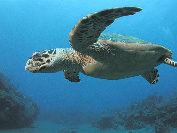 Hawkbill Sea Turtles