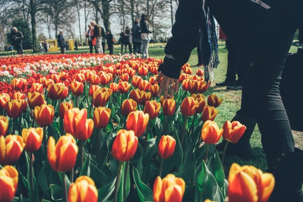 Keukenhof, a park of the flowers near Amsterdam photo by Mario Gogh via Unsplash
