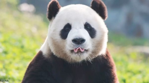 Panda in Everland Korea photo via KLOOK