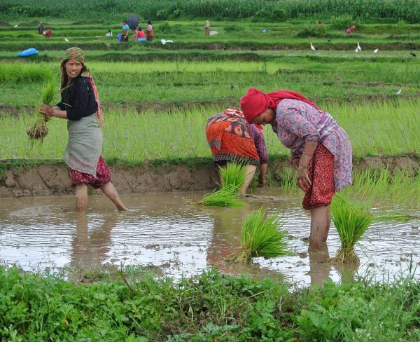 Rice Farmers in Kathmandu