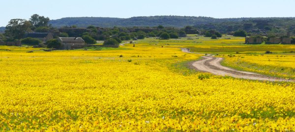 Field of flowers near Clanwilliam