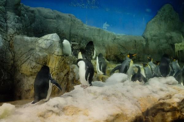 Penguins inside Osaka Aquarium