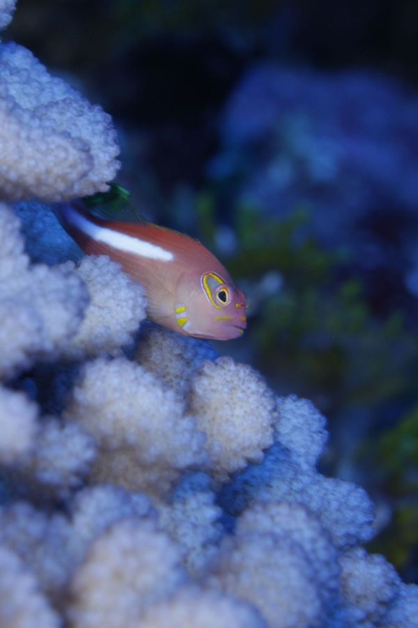 Arc-eye hawkfish (Paracirrhites arcatus) is a cryptic reef fish that usually hides in holes and crevices. © OCEANA/UPLB