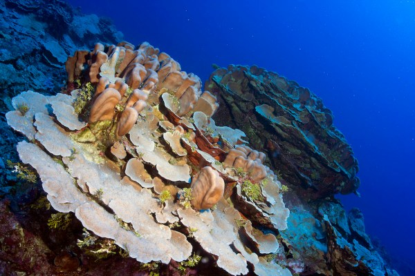 Plates of foliose corals look like terracesin the bank. This is a common sight on the bank and characteristic of mesophotic reefs, found at depths from 30 meters (100 feet) to 150 meters(492 feet).© OCEANA/UPLB