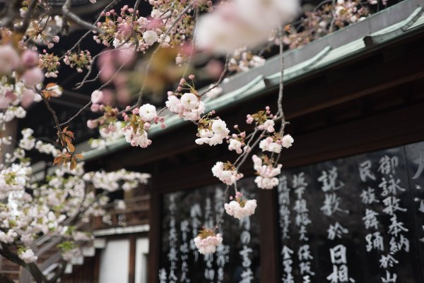 Sakura Season in Osaka photo by Galen Crout via unsplash