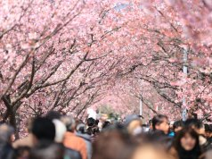 When to catch the 2019 Cherry Blossom season in Japan photo by Kazuend via unsplash