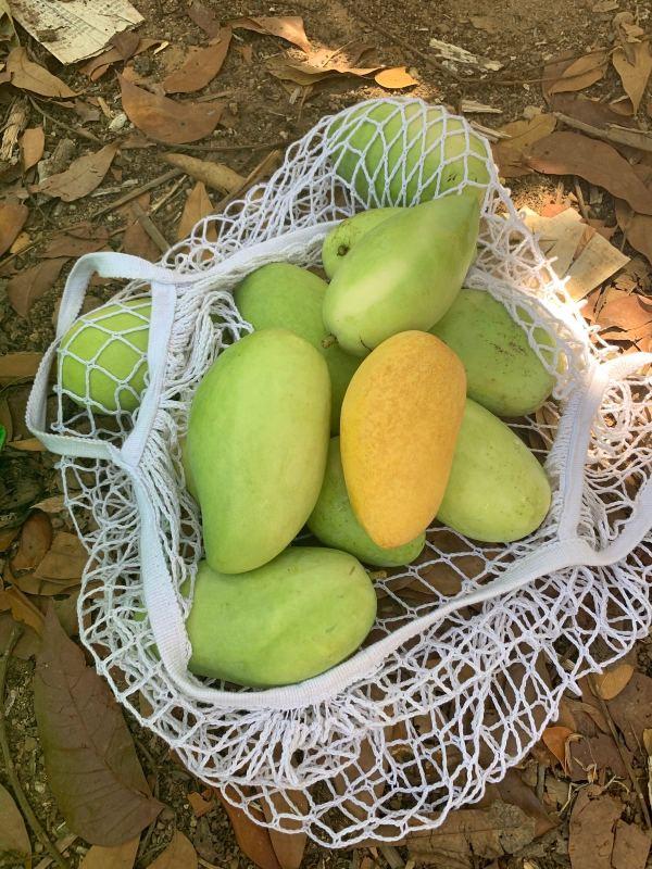 Mango Picking in Guimaras Island