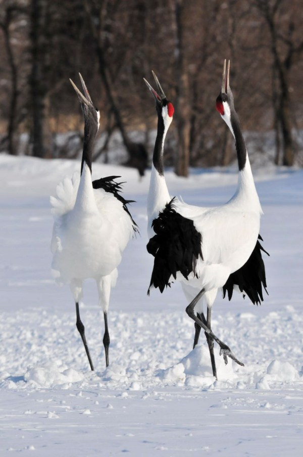Red-crowned Cranes honking in Hokkaido photo by Cyberfox via Wikipedia CC