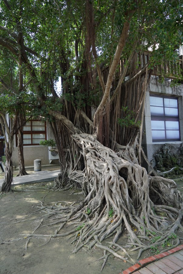 Banyan Tree inside the complex