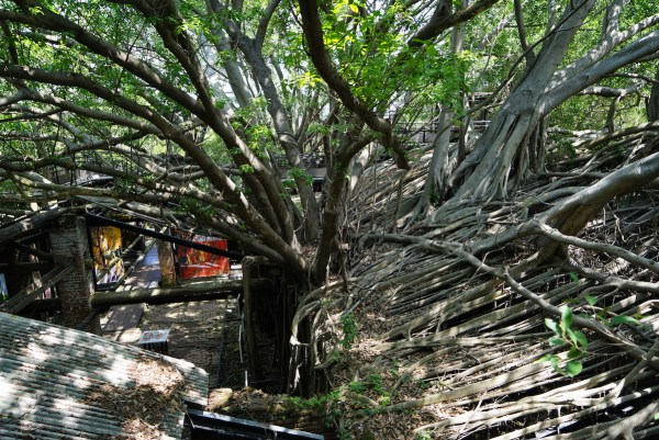 View of Banyan Tree from the elevated walkway