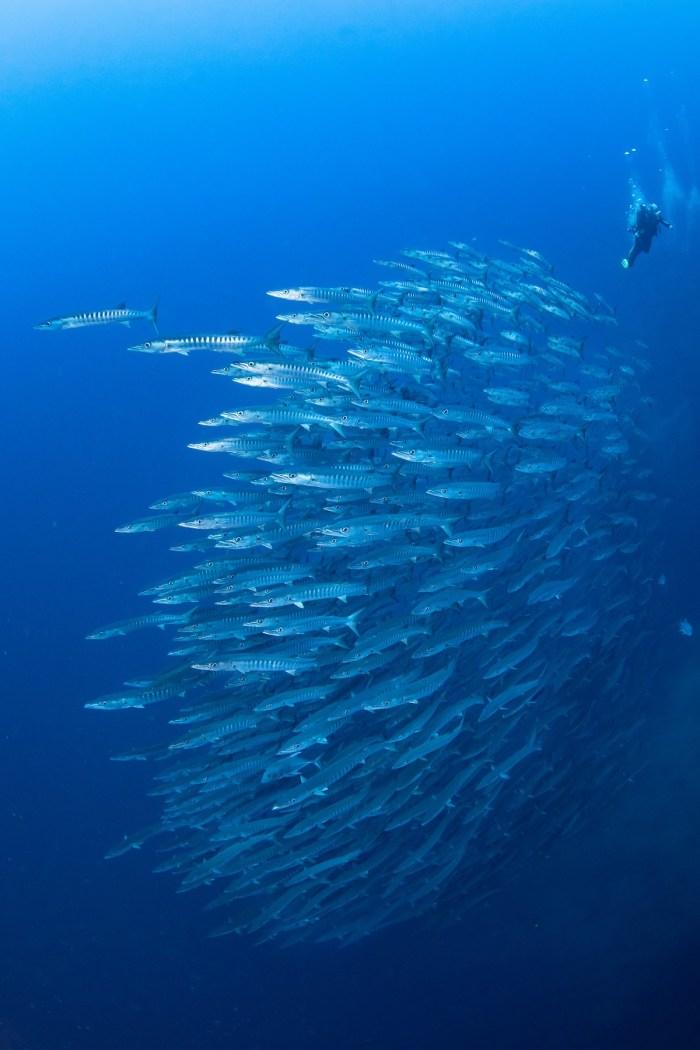 Tubbataha Barracudas photo by Jerome Kim