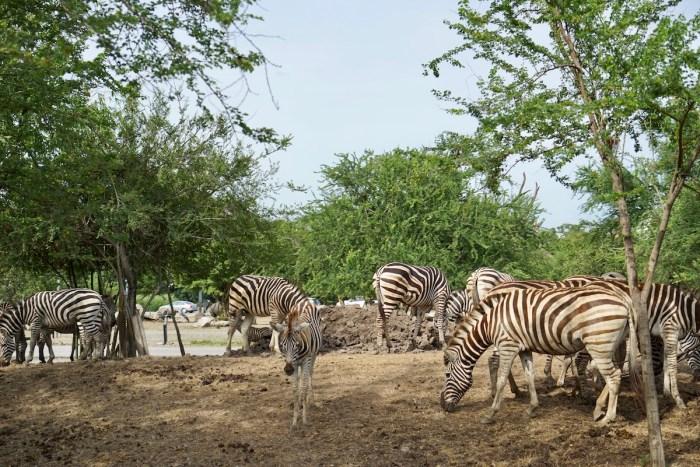 Zebras at Safari World Bangkok