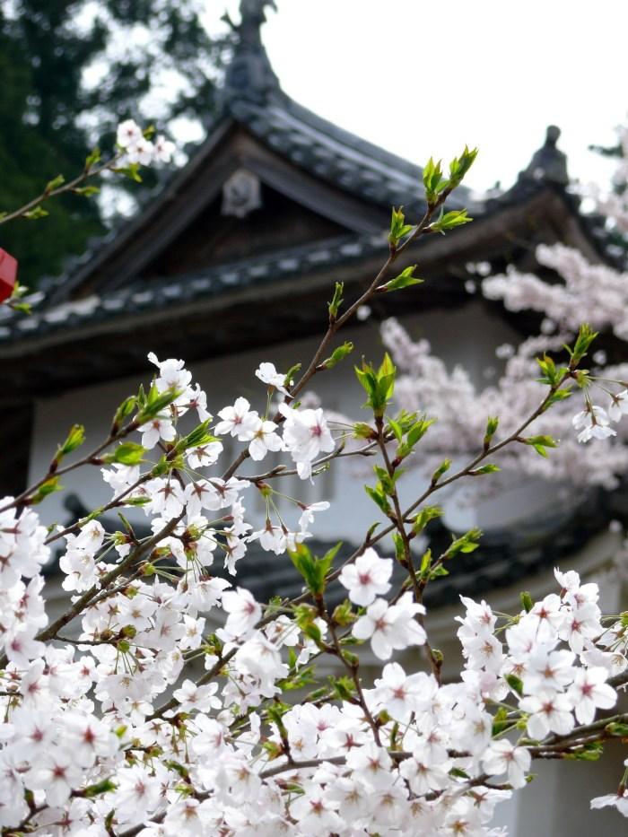 Izushi Castle Ruins with Sakura
