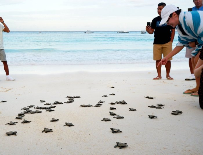 Turtle Hatching in Boracay