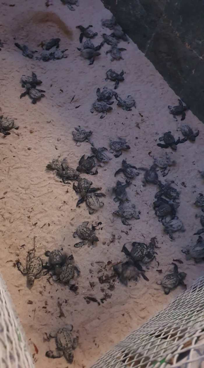 Turtle hatching of Olive Ridley Turtles for 2020