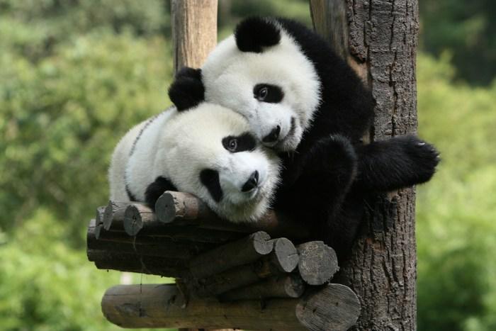Chengdu Panda photo via DepositPhotos