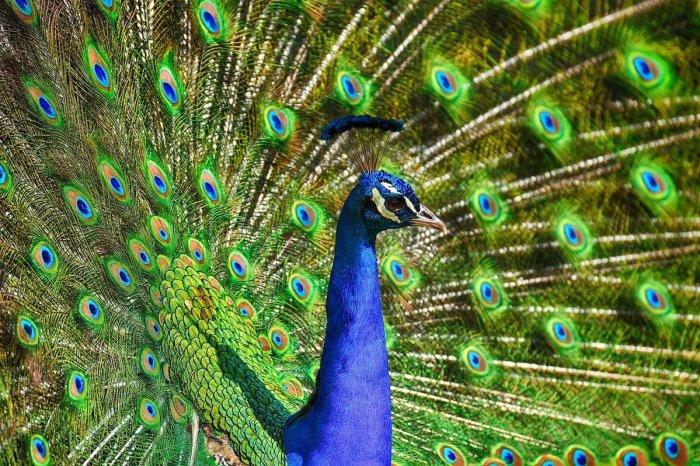 Peacock at Bharatpur Bird Sanctuary