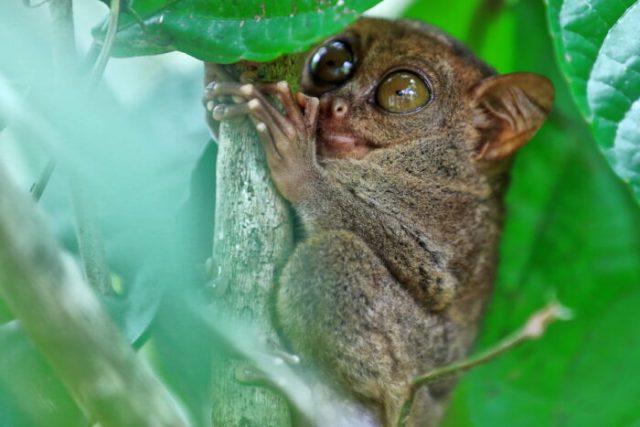 Philippine tarsier - one of the smallest primates in the world photo via Depositphotos
