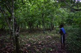 This cocoa plantation according to oyong is owned by a boy of 17 years.