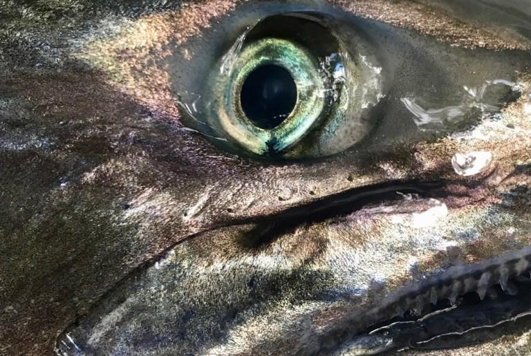 Closeup of chinook salmon eye and teeth