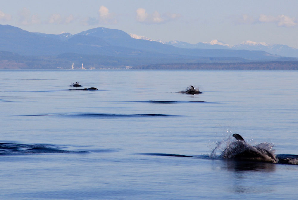 Pod of pacific white-sided dolphins travels near Campbell River, BC