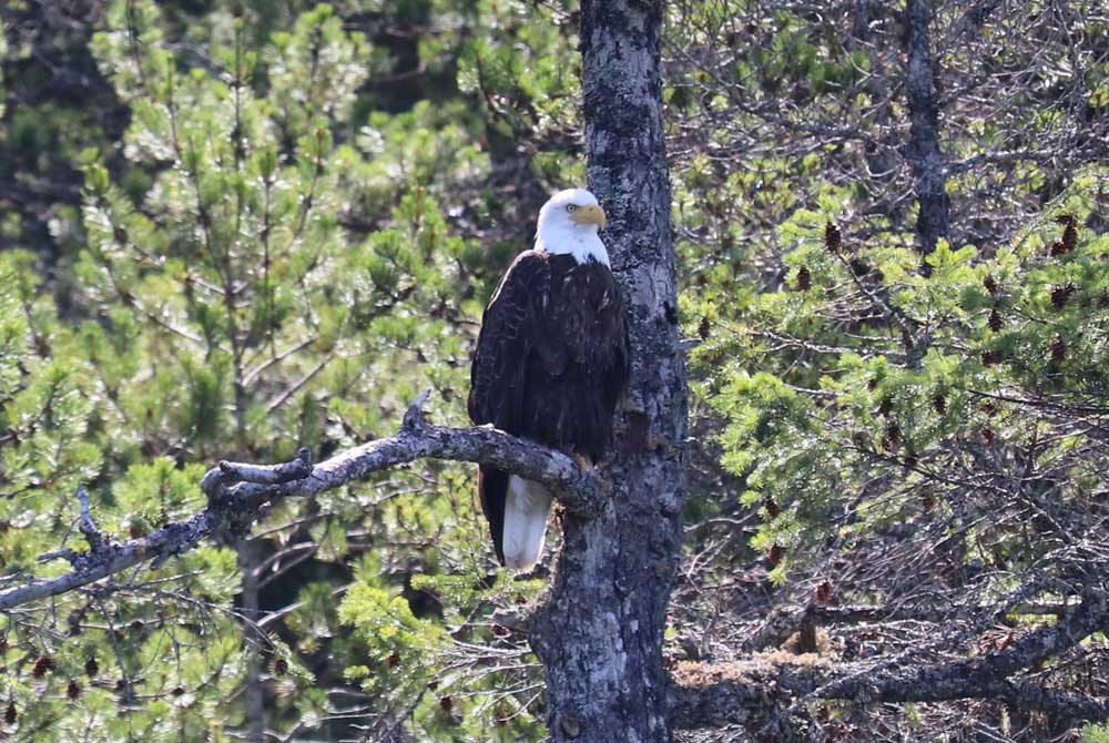 Bald eagle in a tree in the Discovery Islands, B.C.