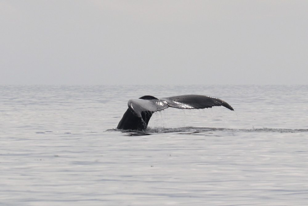 humpback whale tale diving