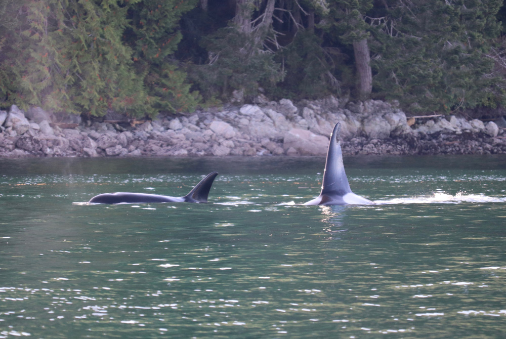 two killer whales feeding on seal