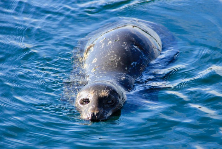 harbour seal campbell river bc