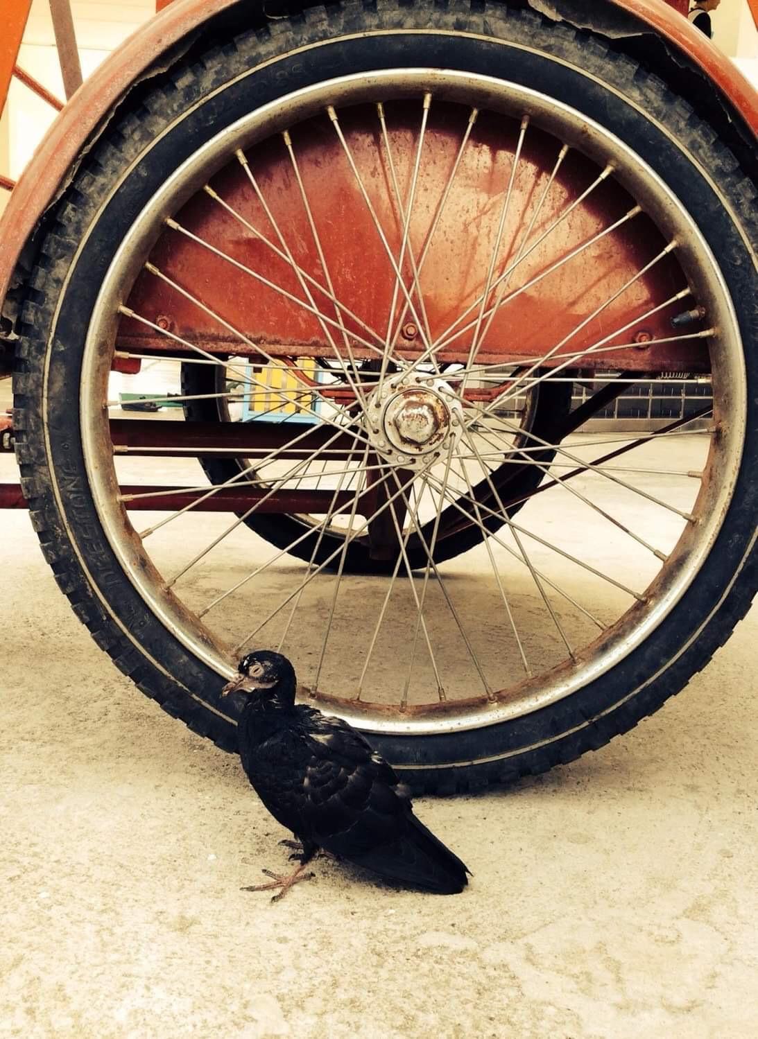 POOR BLACK PIGEON THAT CAN'T FLY 🐧🦜🕊( นกพิราบดำที่บินไม่ได้ที่น่าสงสาร 🐧🦜🕊 )