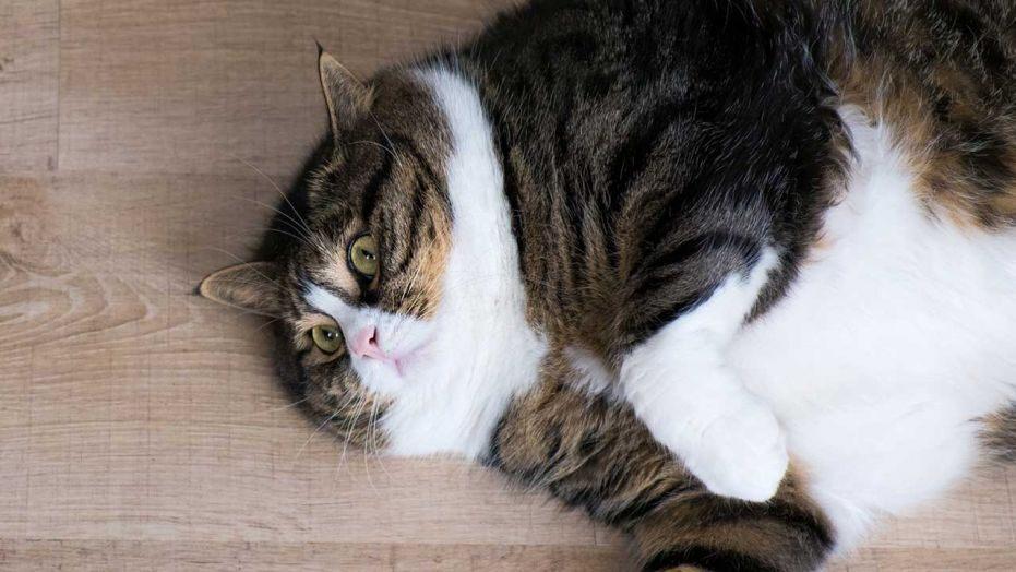 เมื่อแมวคุณอ้วนเกิน เราจะลดความให้อ้วน ให้แมวได้อย่างไร ? 🐱🐈⚽️🏏🏋️♂️🏋️♀️