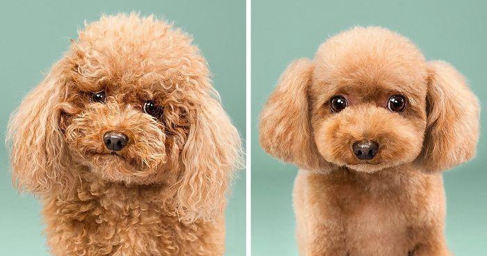 """เหล่าสุนัข """" ก่อน และ หลัง """" ตัดแต่งขน แบบ """" แหวกแนวสุดๆ """"  ( 16 ภาพ ) 🐶💇🏻♀️💇🏻😮😲"""
