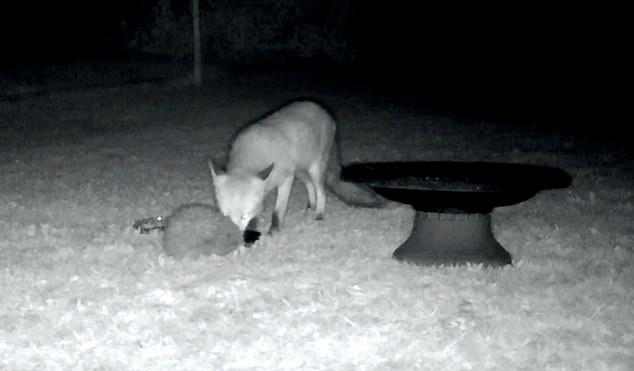 """สุนัขจิ้งจอกกับเม่น """" แบ่งปัน """" อาหารร่วมกันในยามเที่ยงคืน 🦊🦔🌽🧆🍖🤝🤲🏻♥️"""