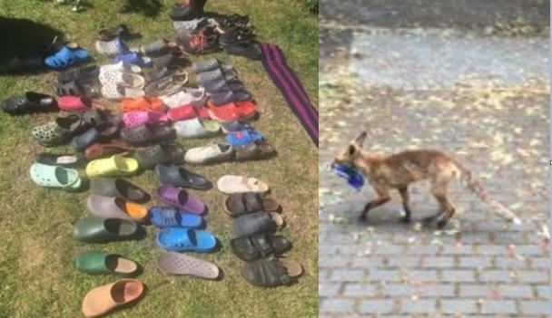 """สุนัขจิ้งจอกจอมโจร """" ขโมย """" รองเท้า 100 คู่ที่ชุมชนในเยอรมัน 🦊😈👞👟👠🔎‼️"""