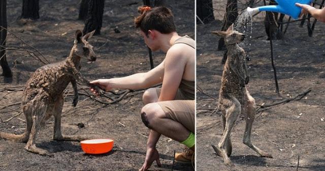 """จิงโจ้น้อยวิ่งมาขอให้เด็กชาย """" ช่วยชีวิต """" หลังจากโดนไฟลวกจากไฟป่า 🦘🧑🏻🦱🤲🏻♥️🔥🌲💦🧊🥛🇦🇺"""