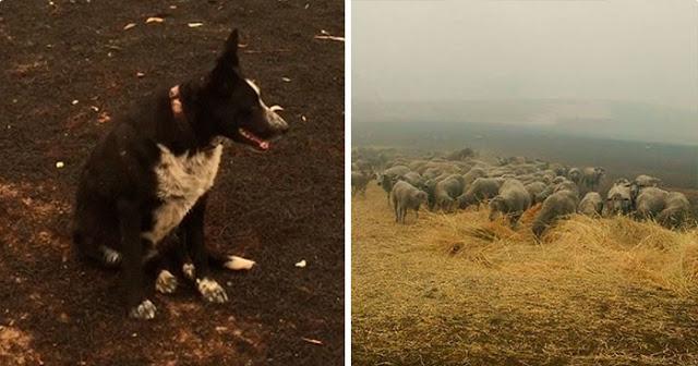 """สุดยอดสุนัข """" ฮีโร่ """" ที่สามารถช่วยชีวิตฝูงแกะ 900 ตัวจากไฟป่าออสเตรเลียได้ 🐶🐕🐑🔥🌲🤲🏻👍🏻✌🏻👌🏻🇦🇺"""