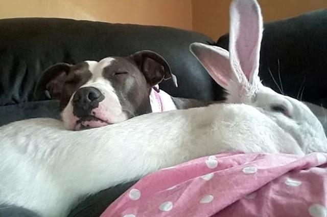 """มิตรภาพอันน่ารักและอบอุ่นของ """" เพื่อนซี้ต่างสายพันธุ์ """" สุนัขพิตบูล """" กับ """" กระต่ายยักษ์ """" 🐶🐰🤲🏻🤝👌🏻♥️🏡"""