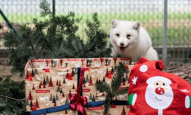 """ลูกสุนัขจิ้งจอกฉลอง """" คริสต์มาส """" หลังได้รับการช่วยเหลือจากฟาร์มขนสัตว์ที่โหดร้าย 🦊🤲🏻♥️🎅🏻🎄🎁🎉🎊🇵🇱"""