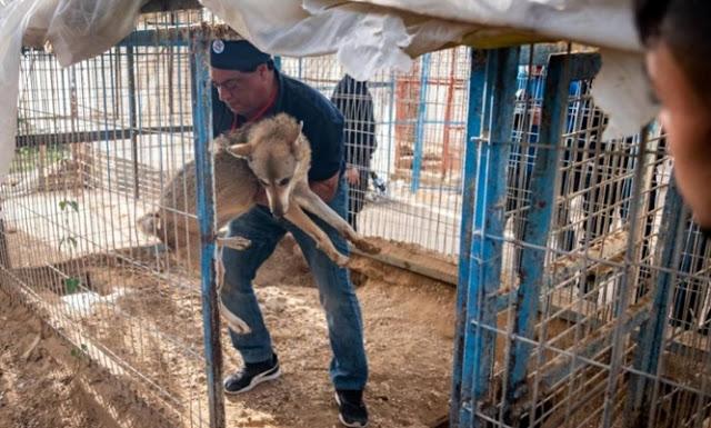 """สัตว์ 47 ตัวได้รับการช่วยเหลือออกจาก สวนสัตว์ ในเขต """" สงคราม """" ที่ฉนวนกาซา , อิสราเอล 🐅🐆🐘🐐💥🗡⚔️🤲🏻♥️🇵🇸🇮🇱"""