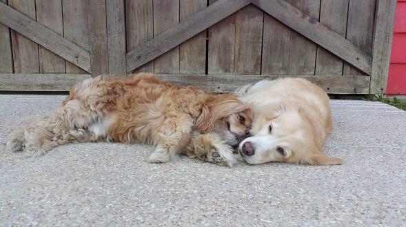 """สุนัข """" ตาบอด """" ตัวหนึ่งได้สุนัขอีกตัวคอยช่วยเป็น """" ดวงตา """" นำทางให้ 🐶🐕👁⚫️🕶🦮🤝👌🏻♥️"""