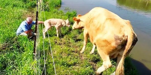 """คุณแม่วัวร้องขอให้คนช่วยชีวิตลูกวัวที่เพิ่งเกิดที่ติดอยู่ใน """" รั้วไฟฟ้า """" 🐮🐄🔋⚡️😢👨🏻🤝🤲🏻♥️🇨🇦"""