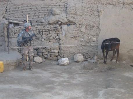 IS LEP Shearman guarding a suspicious cow at bomb maker Niamat's Qalat