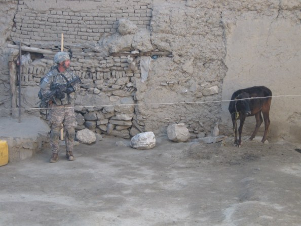 IS LEP Shearman guarding a suspicious cow at bomb maker Niamat's Qalat