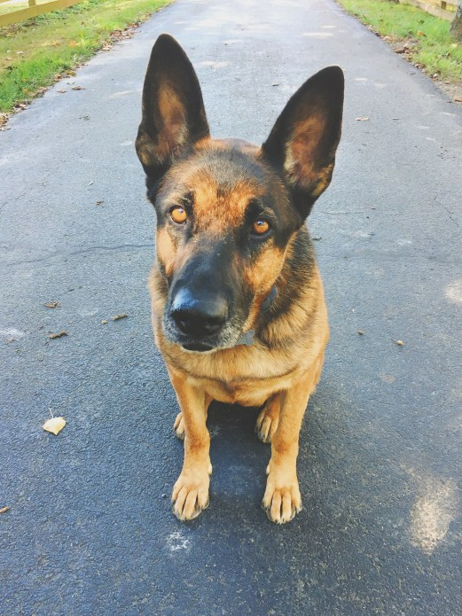 german shepherd colfax north carolina