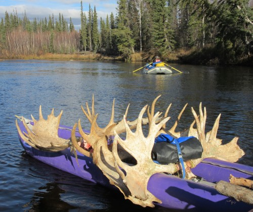 Racks of moose antlers strapped to a watercraft, going down a river.