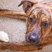 why rawhide is bad for dogs