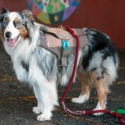 an aussie wearing the denver urban backpack for dogs