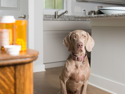 dog next to pills. is human medicine safe for dogs